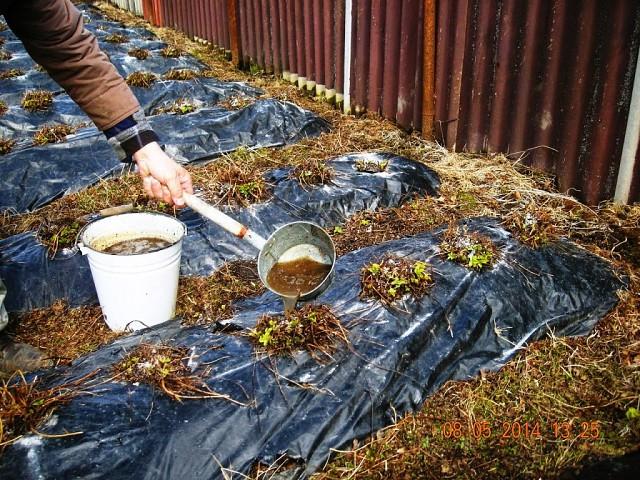 Можно ли удобрять клубнику золой осенью. Подкормка клубники