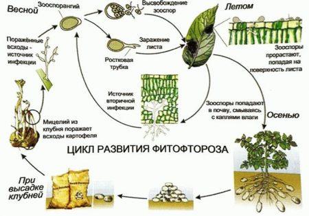 Как бороться с фитофторой на картофеле описание и методы лечения
