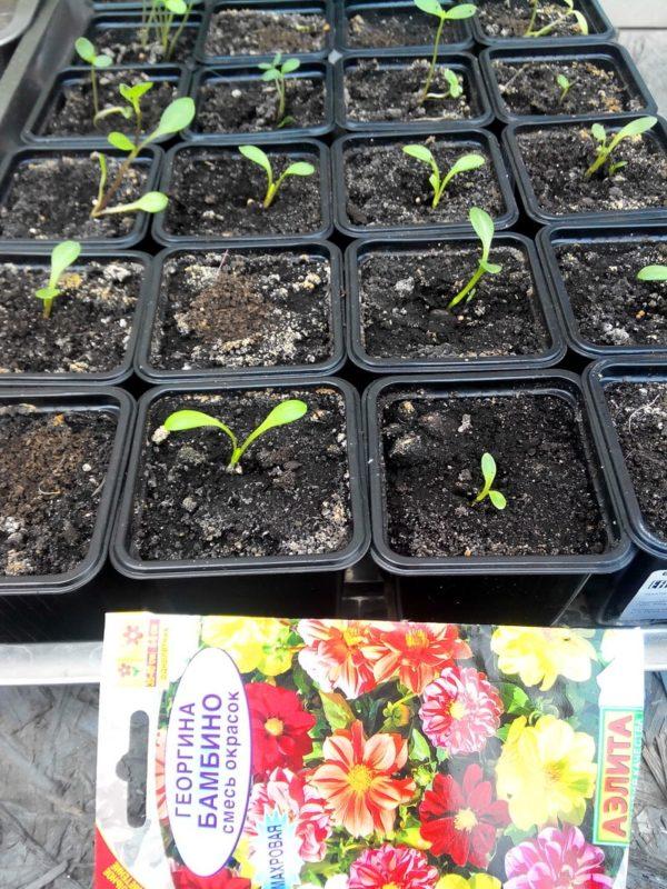 Георгины на рассаду - подготовка семян и уход за сеянцами