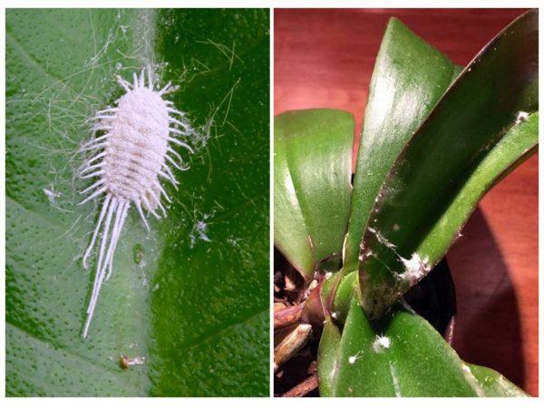 Как избавиться от мучнистого червеца на орхидее эффективные средства и способы