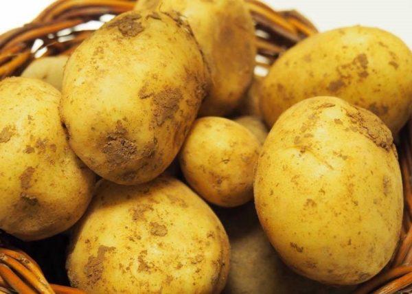 Картофель Тимо Ханккиян: описание и характеристика сорта, правила выращивания