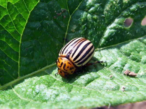 Деготь от колорадского жука: состав, как приготовить, отзывы, березовый деготь