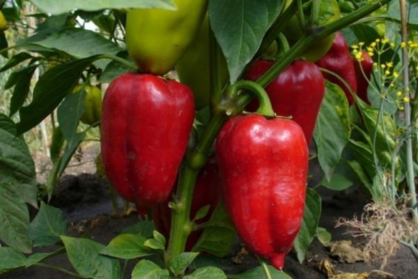 Описание и характеристики сладкого перца сорта Айвенго