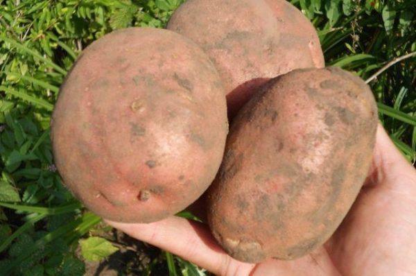 Картофель Ирбитский описание и характеристика сорта урожайность с фото
