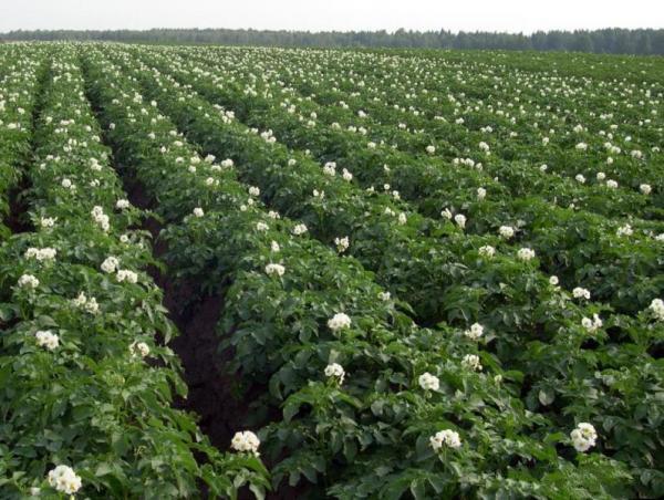 Полив картофеля в открытом грунте: правила и сроки