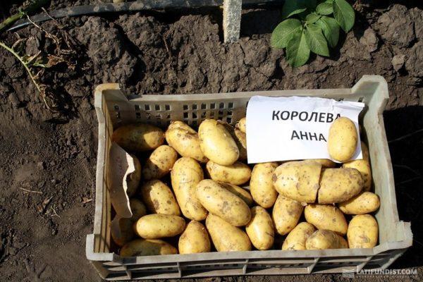 Картофель Королева Анна: описание и характеристика сорта, выращивание с фото
