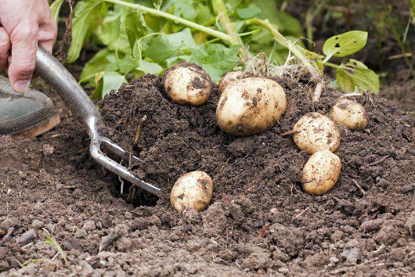 Когда можно копать молодой картофель