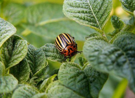 Жукоед от колорадского жука инструкция по применению средства