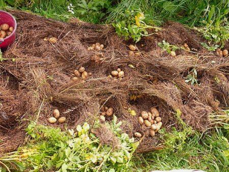 Выращивание картофеля под соломой или сеном: технология посадки и другие особенности