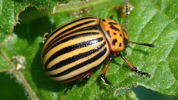 Естественные враги колорадского жука, какие птицы едят колорадского жука