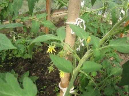 Томат Золотая теща характеристика и описание сорта урожайность с фото