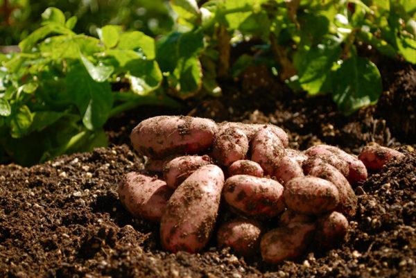 После чего можно садить картофель
