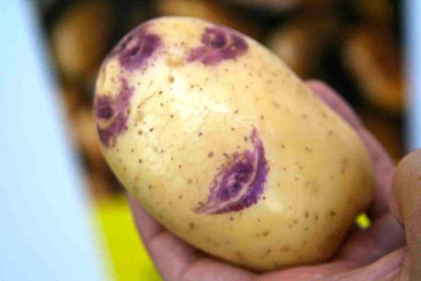 Картофель синеглазка - особенности сорта и правила выращивания