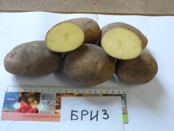 Картофель бриз характеристика сорта отзывы вкусовые качества