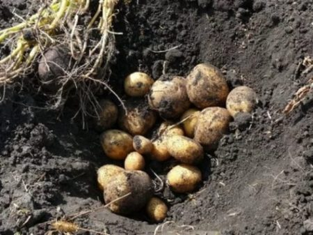 Урожайность картофеля с 1 га- сколько можно собрать картошки, от чего зависит урожай, как его повысить