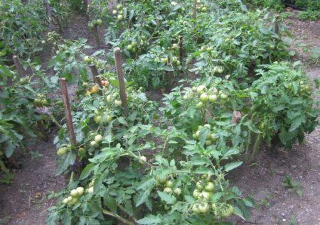 Характеристика и описание сорта томата Амулет его урожайность