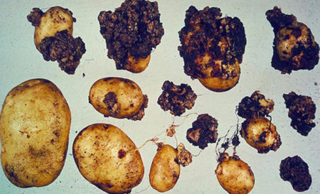 Рак картофеля опасность для человека