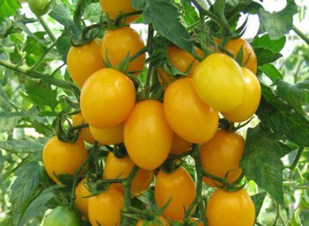 Томат Амулет описание сорта характеристика и выращивание с фото