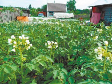 Как обрабатывать картошку от колорадского жука