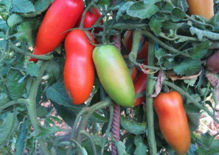 """Высокоурожайный томат """"казанова"""""""
