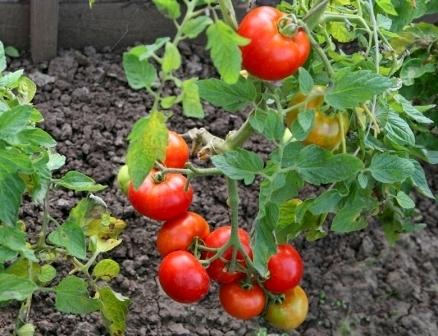 Томат Казачка характеристика и описание сорта урожайность с фото