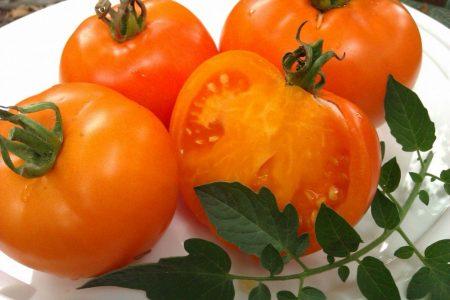 Характеристика и описание сорта томата Оранжевый слон, его урожайность. Урожайный томат Розовый слон: описание сорта
