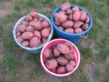 Сорт картошки лабелла