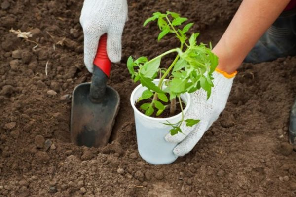 Томат Оранж Блю: характеристики и описание сорта, урожайность, отзывы, фото