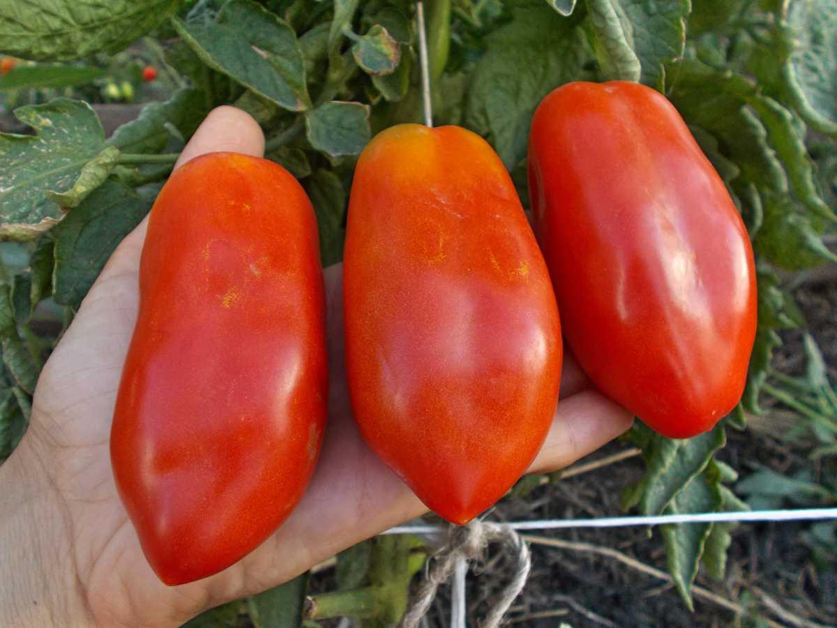 томат итальянские спагетти отзывы фото урожайность фонтанки побывал