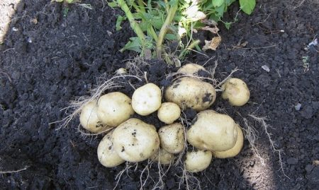 Описание сорта картофеля Латона особенности выращивания и урожайность