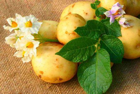 Описание сорта картофеля Наташа его характеристика и урожайность