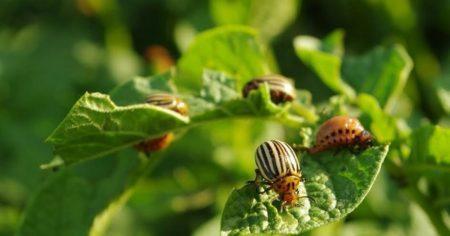 Интавир от колорадского жука инструкция по применению средства