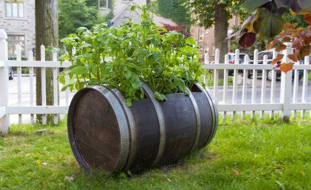 Как вырастить картошку в бочке
