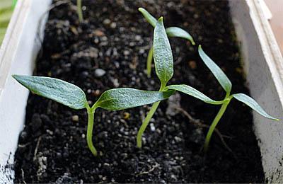 Советы по выращиванию крепкой и здоровой рассады перца