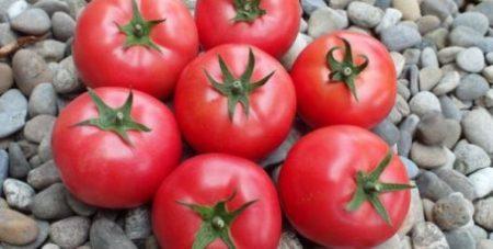 Томат Дар Заволжья характеристика и описание сорта урожайность с фото