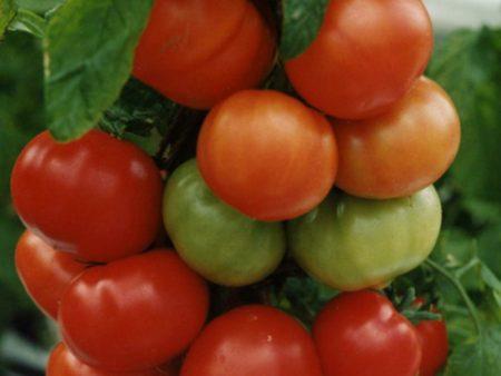 Томат оля f1 характеристика и описание сорта фото урожайность