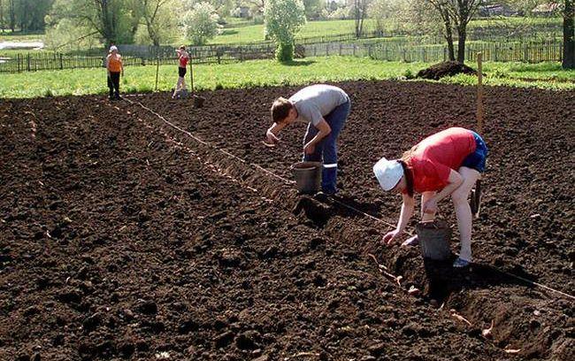 Огород когда сажать картофель