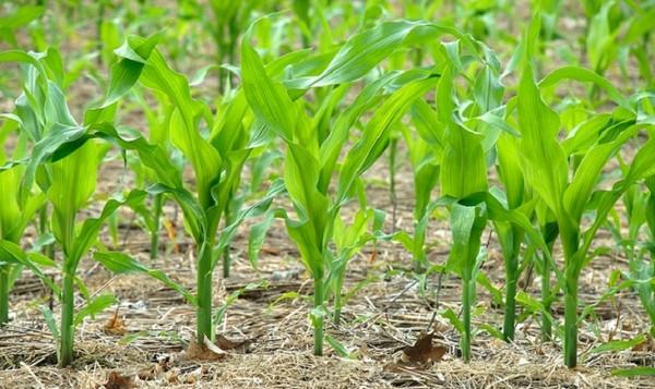Когда сажать кукурузу на рассаду по лунному календарю в 2020 году