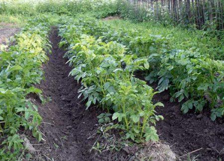 Лазурит от сорняков на картофеле: инструкция по применению, отзывы