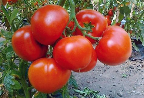 Томат катя f1 отзывы фото урожайность