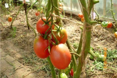 Выращивание томатов Де Барао разных видов