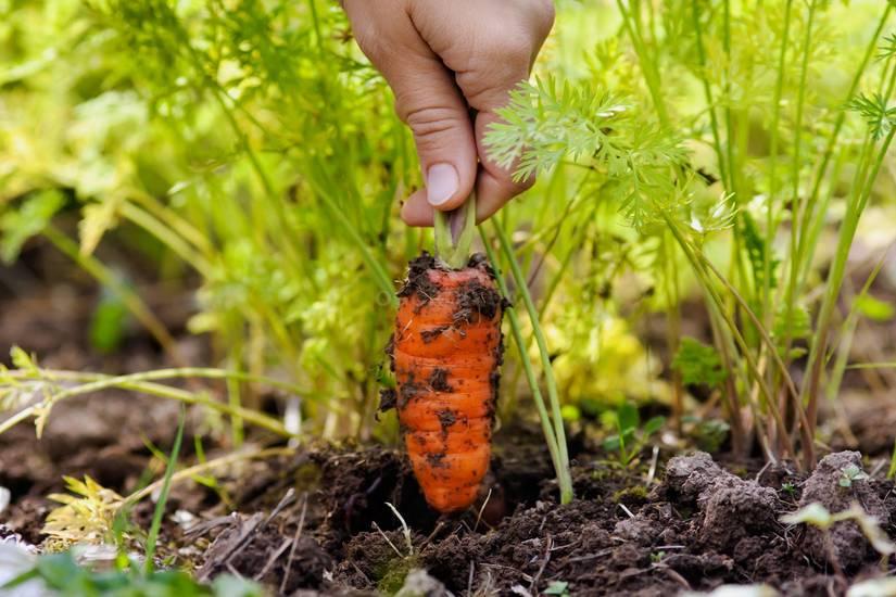 Особенности посадки моркови под зиму и уход за ней