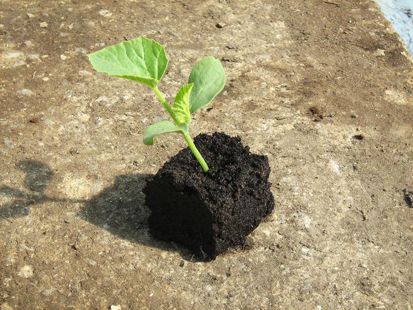 Когда и как сажать семена арбузы и дыни на рассаду в 2020 году