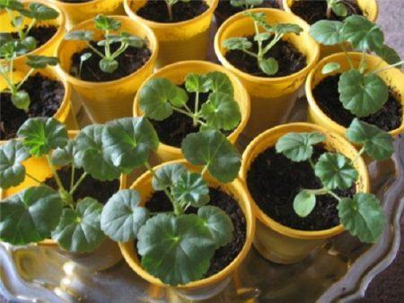 Пеларгония из семян в домашних условиях