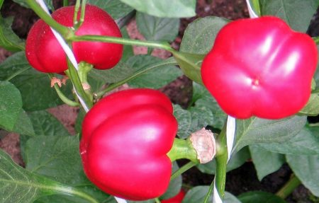 Перец сладкий семена лучшие сорта для подмосковья