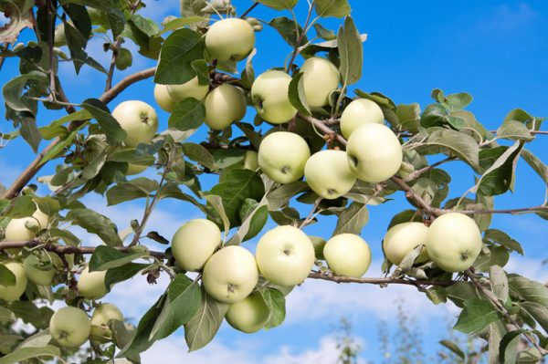 Яблоня белый налив описание сорта фото отзывы садоводов видео