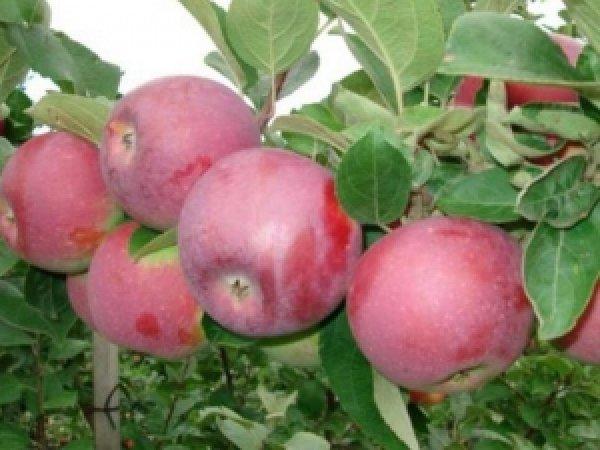 Яблоня Спартан: описание необычного сорта