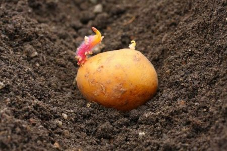 Посадка картофеля в Подмосковье - OgorodGuru