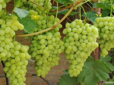 Виноград Лора описание сорта с фото, характеристика
