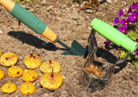 Когда и как сажать гладиолусы весной в открытый грунт